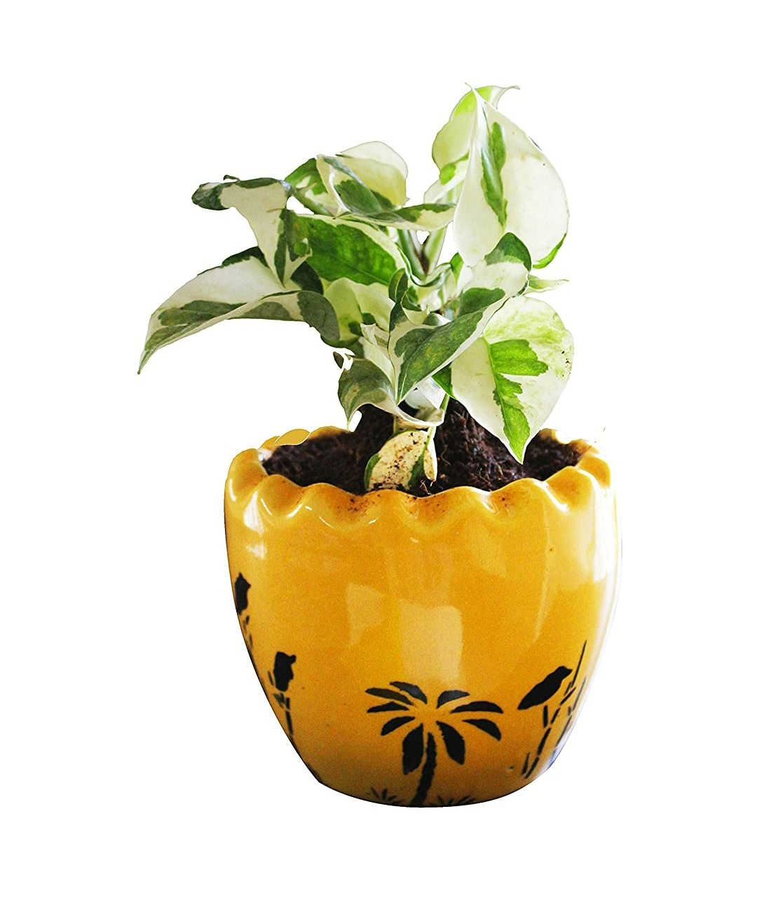 Good Luck Air Purifying N'joy Money Plant in Yellow Ruffel Aroez Ceramic Pot